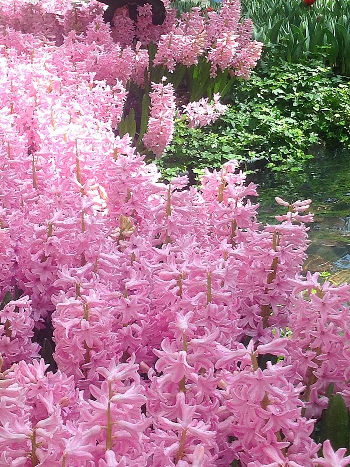 Botancial Garden - Las Vegas - Pink Flowers